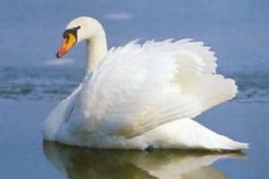 sonhar com cisne